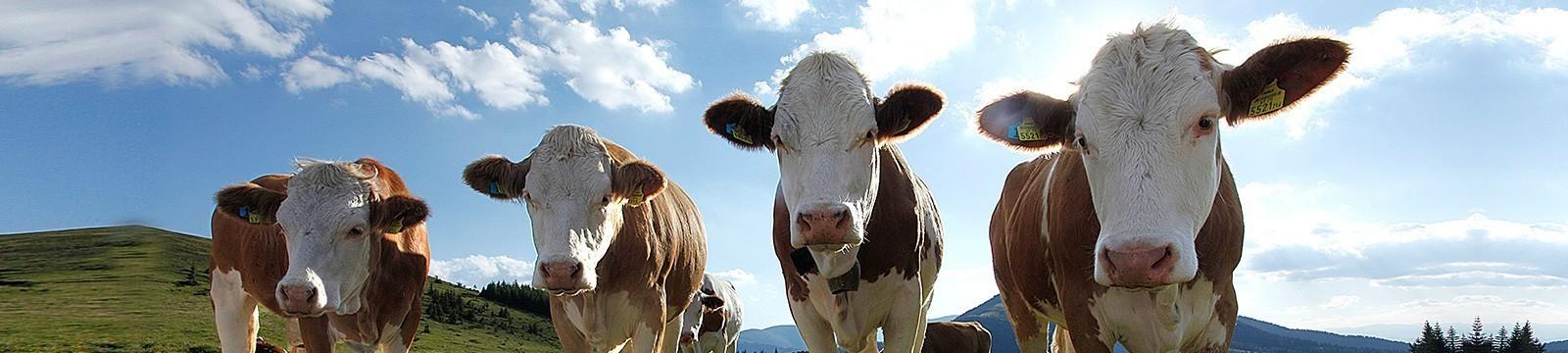 Käse von der Kuh